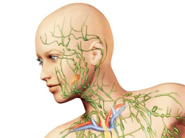 Строение лимфатической системы