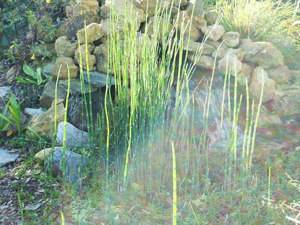 Полевой хвощ - трава для похудения