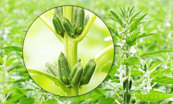 Кунжут - травянистое растение родом из Индии