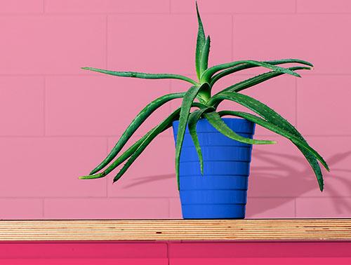 Домашнее растение - алоэ